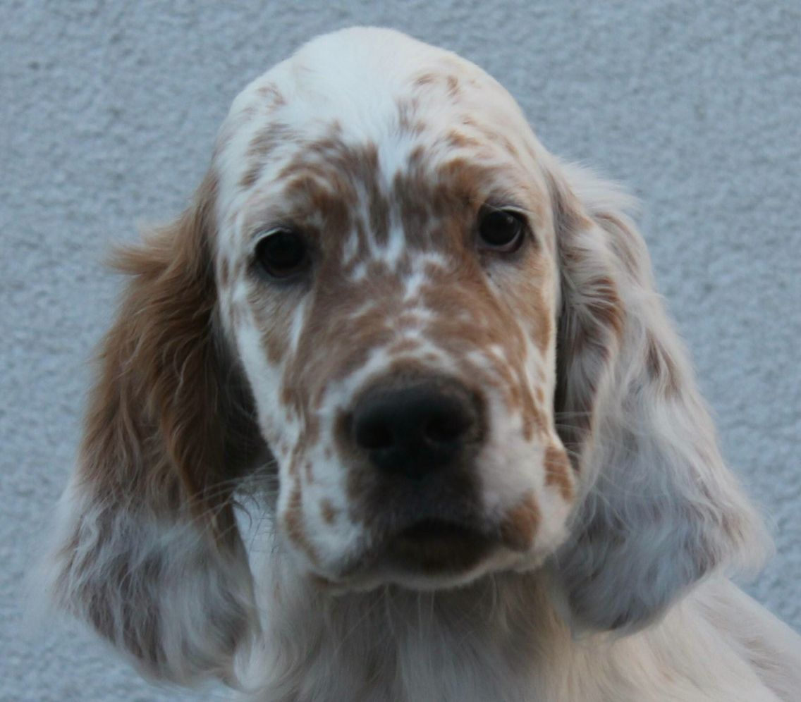 English setter pup classic look with images english