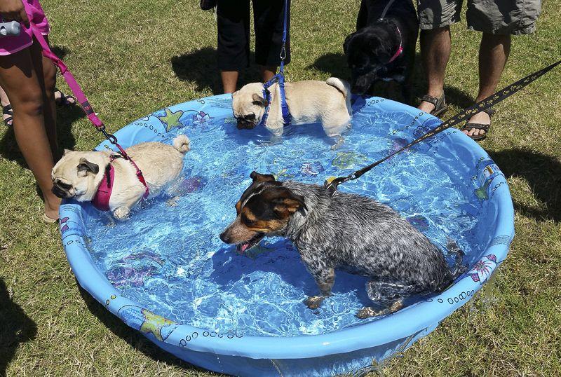 Pug Rescue Profile Pugs Pug Breeders Pug Puppies