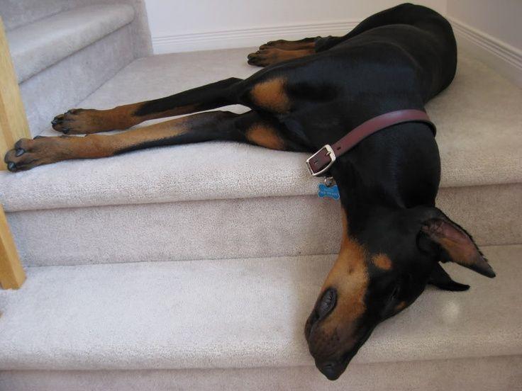 Doberman Puppy Sleeping Doberman Pinscher Doberman Doberman Funny