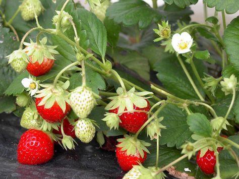 fraisiers comment planter pailler et entretenir un fraisier cr ations pour fraisiers. Black Bedroom Furniture Sets. Home Design Ideas