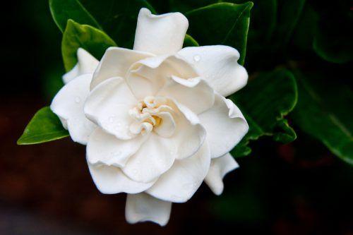 Flowers That Look Like Roses Gardenia Flower Flowers Flower