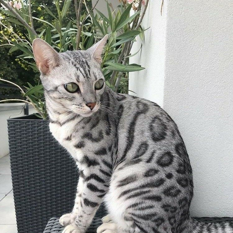 Pinterest sweetness Bengal cat, White bengal cat, Cats