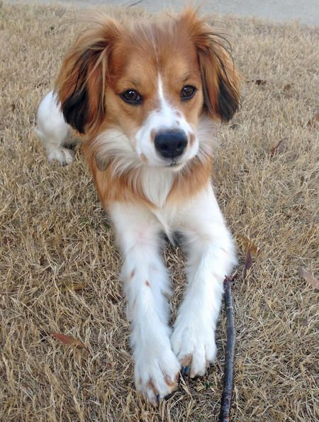 Fabelhaft Penny the Cavalier King Charles Spaniel Mix | Must ♥ Dogs & Pups @NE_01