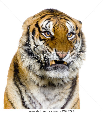 Snarling Tigers Yahoo Image Search Results Tiger Face Tiger Photography Feline