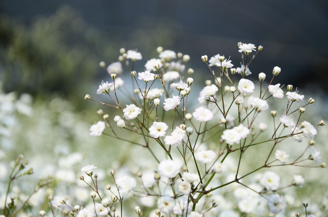 Baby S Breath Pests Identifying And Stopping Gypsophila Plant Pests