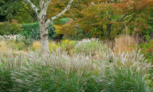 Ornamental Grasses Australia Miscanthus little kitten growing around a paper birch tree with november is often gloomy but at knoll gardens in dorset the grasses reach their peak and extend the garden season right through winter workwithnaturefo
