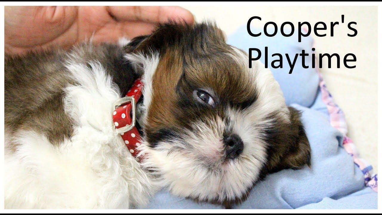 Shih Tzu Cooper Vlogs Series 7 Weeks Old Puppy Playing With