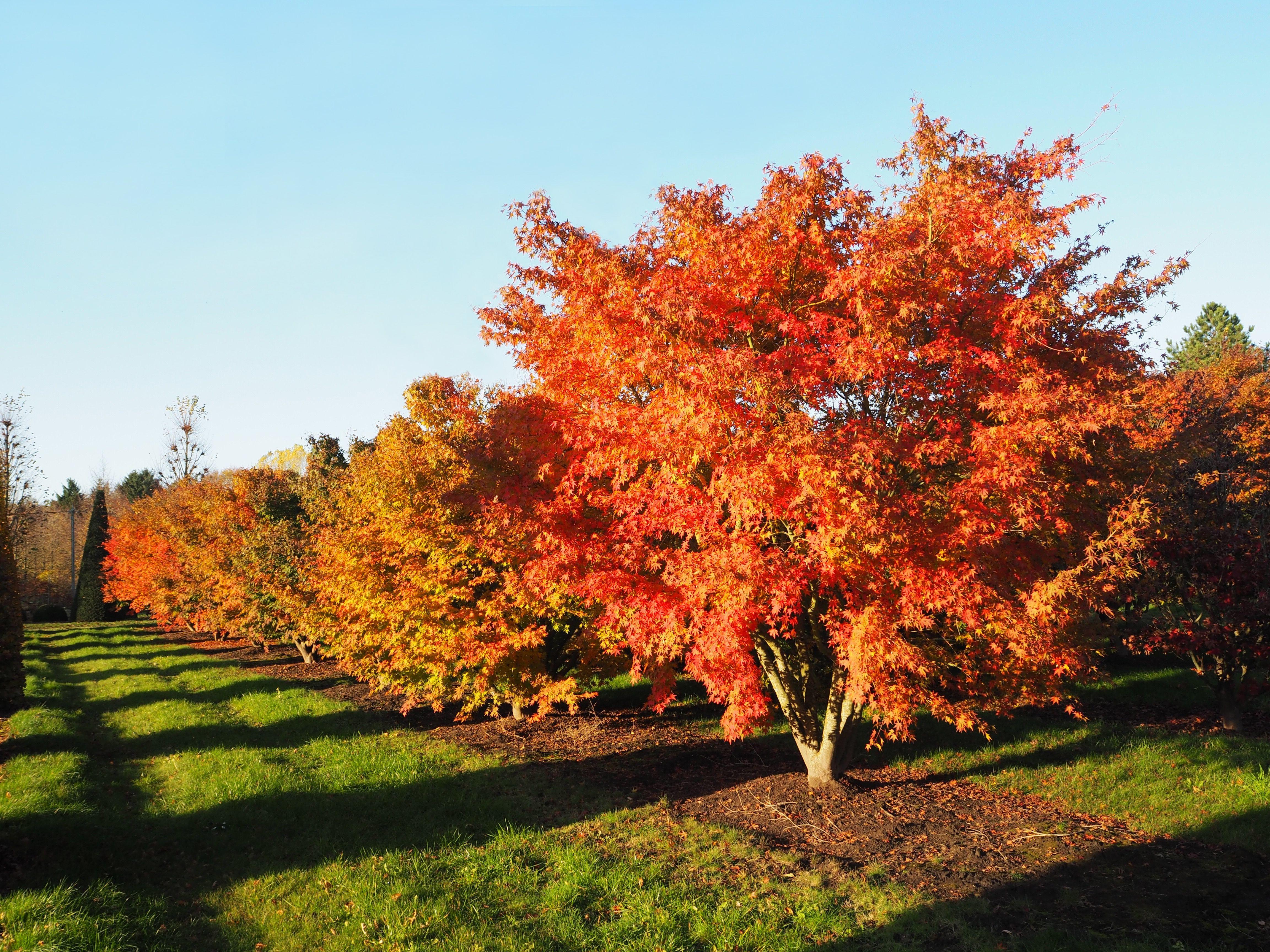 Die Besten Herbstbaume Bei Vf Pflanzen Pflanzen Garten Design Baumschule