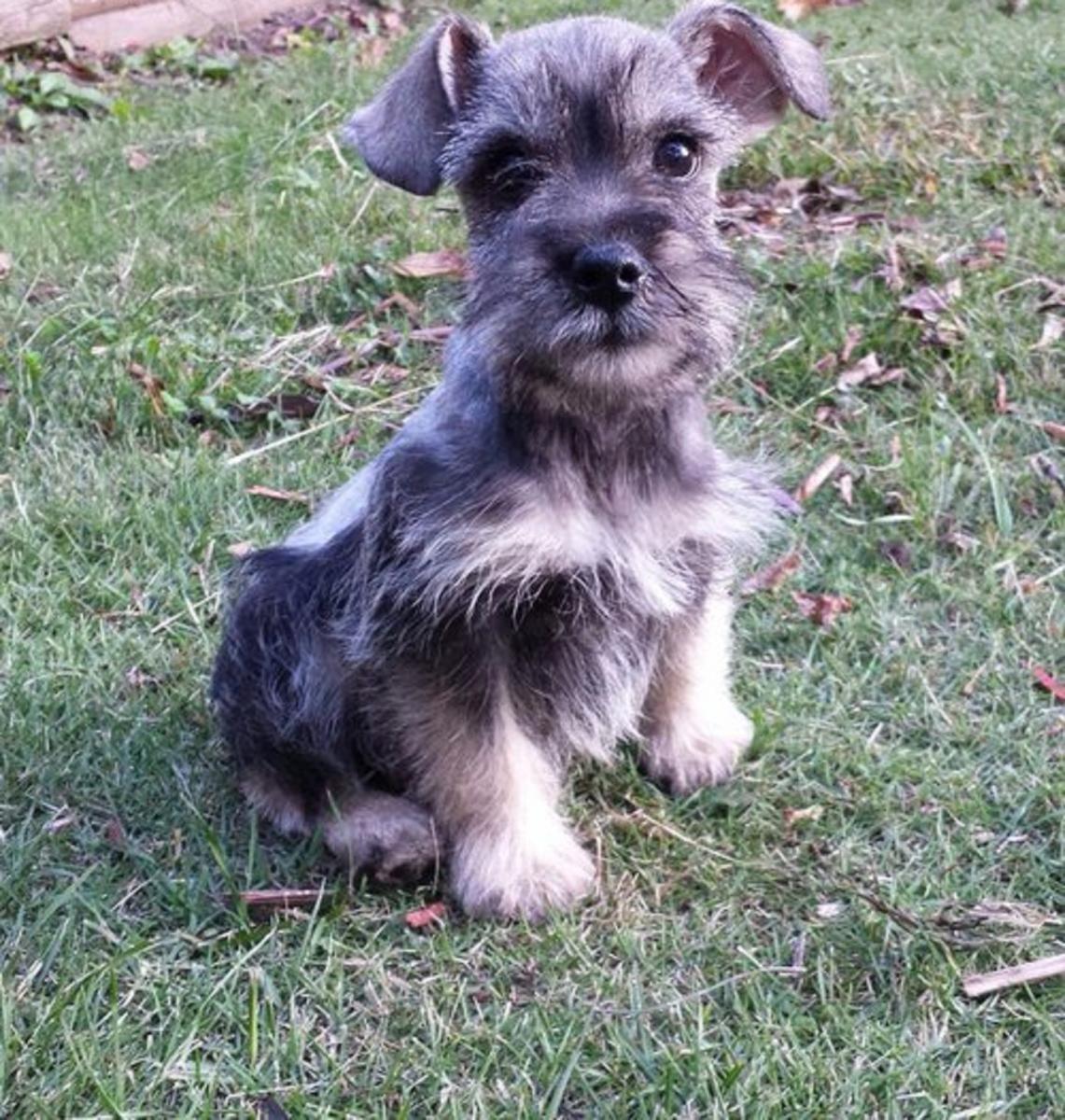 Miniature Schnauzer Puppies Schnauzer Puppy Schnauzer Breed Miniature Schnauzer Puppies