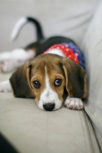Sweet Beagle Puppy I Awesomepawsomepuppies Beagle Puppy Cute