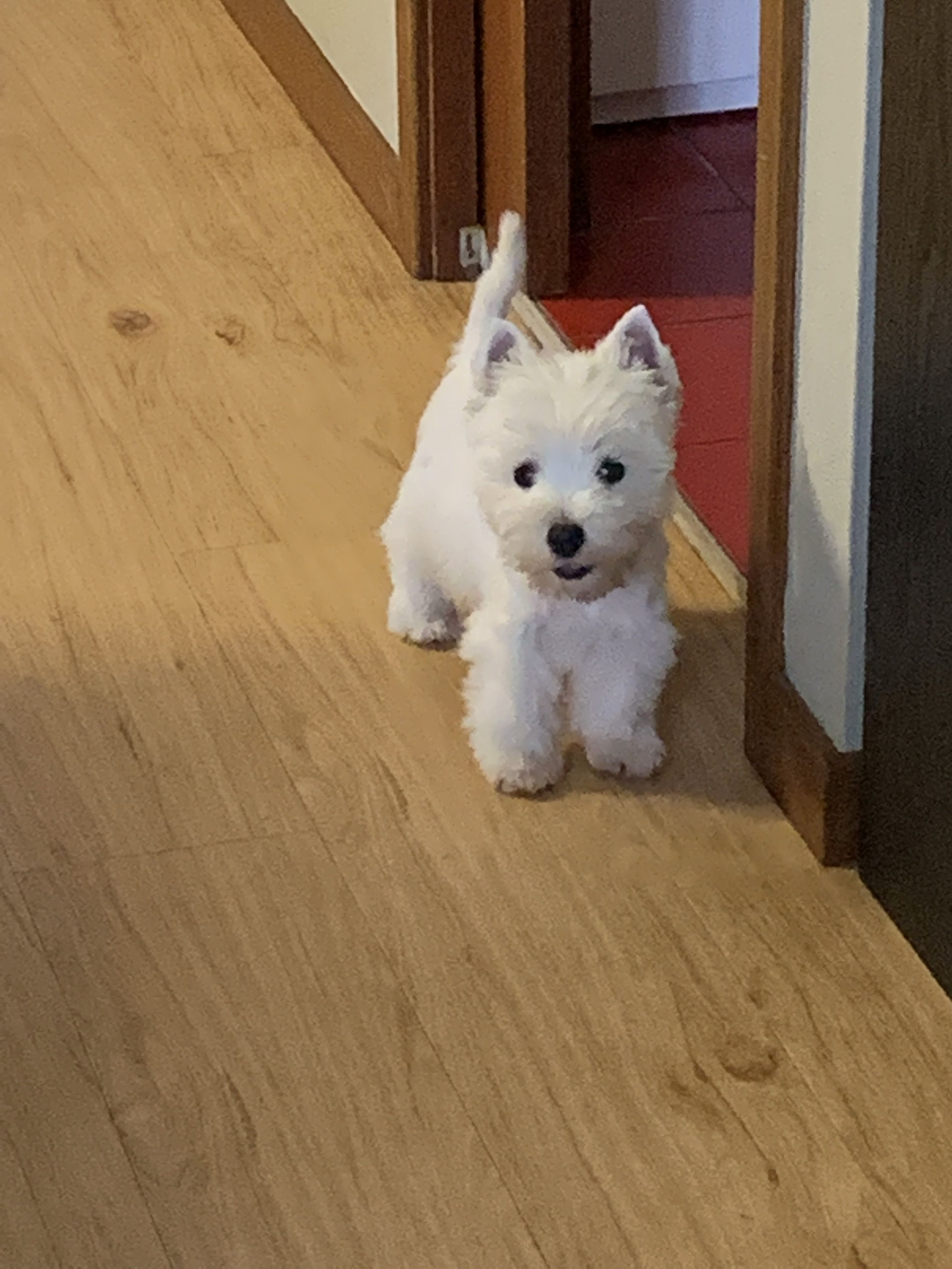 Pin By Jeanine Ford On Westies Westie Puppies Cute Animals