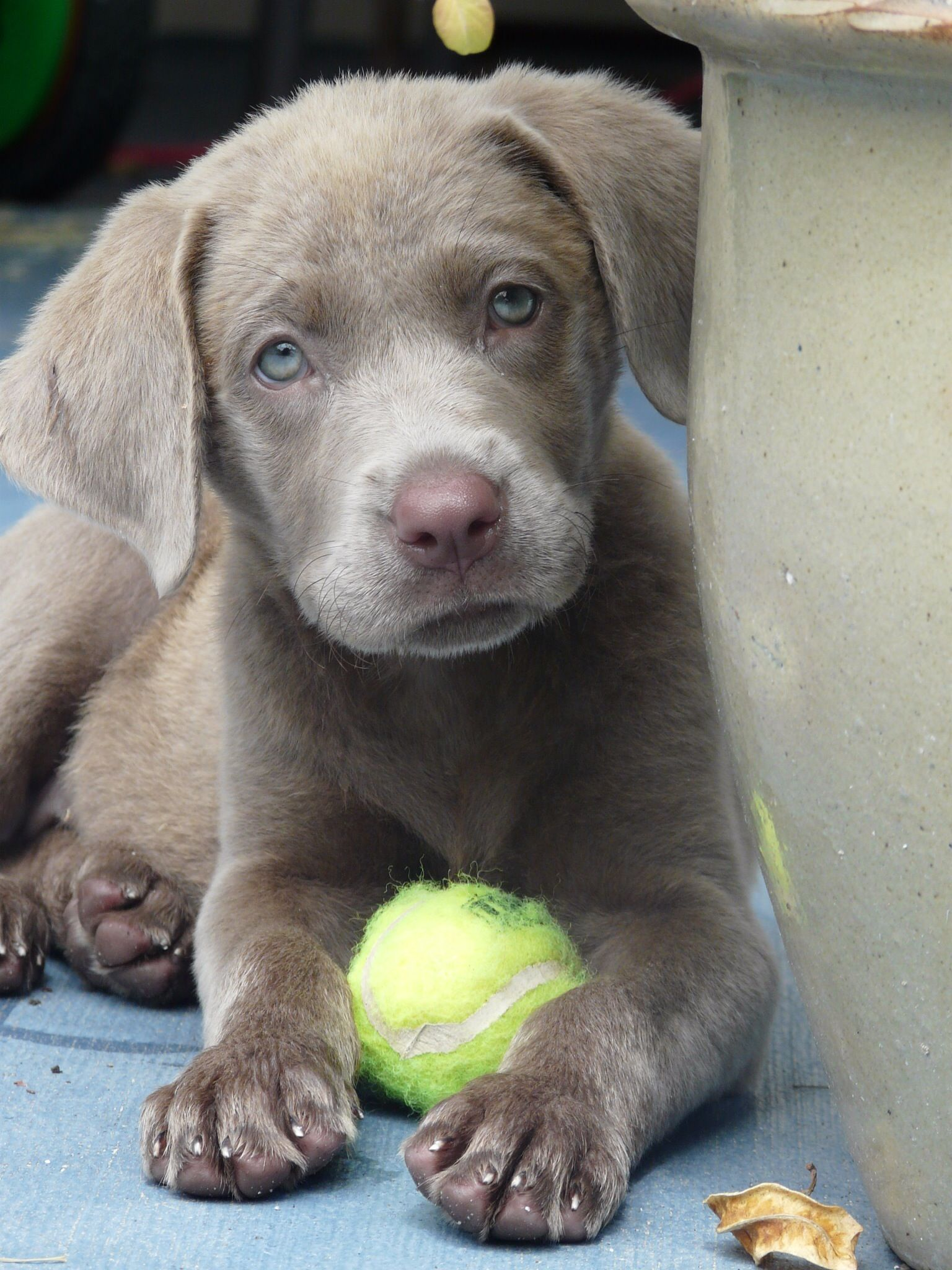 Silver Labrador Retrievers For Sale Silver Lab Puppies Charcoal Labs Silver Lab Puppies S Labrador Retriever Silver Labrador Retriever Silver Labrador Puppies