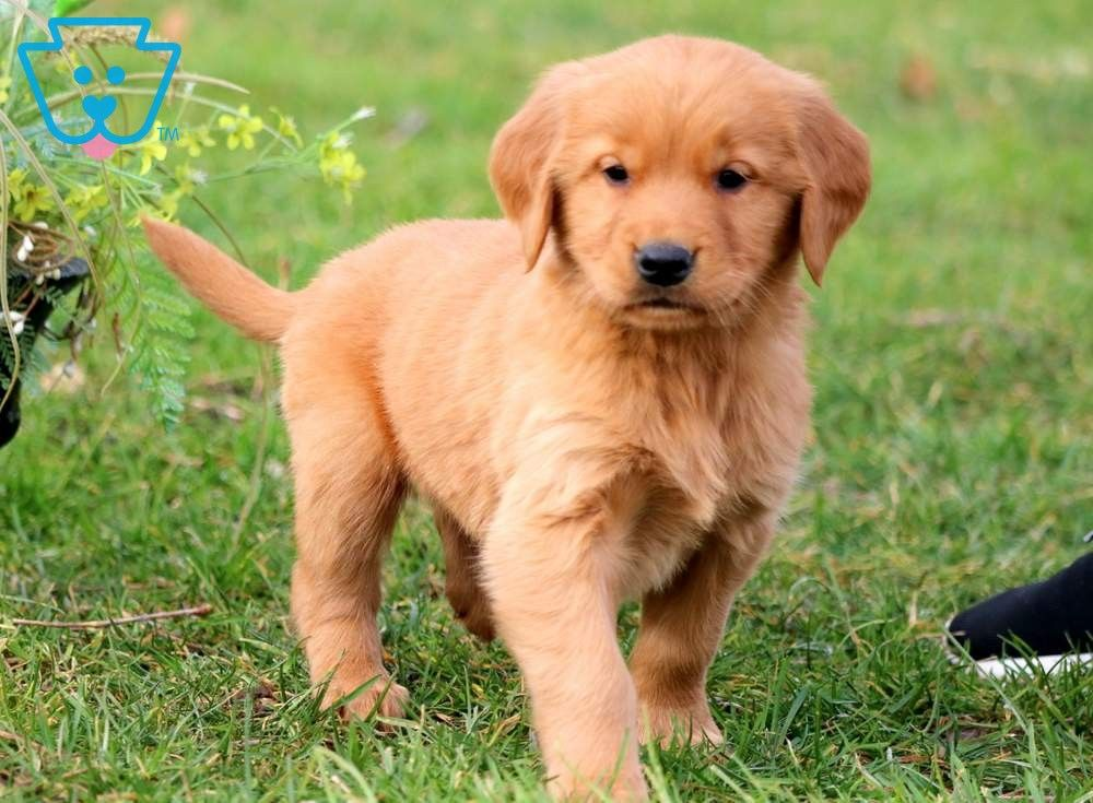 Hess Dogs Golden Retriever Retriever Puppy Puppies For Sale