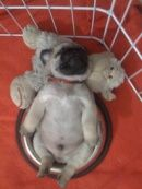 Pug puppy uses stuffed toy as pillow