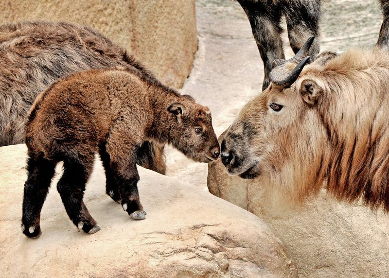 Los Angeles Zoo Welcomes A Takin Calf Los Angeles Zoo Zooborns Cattle