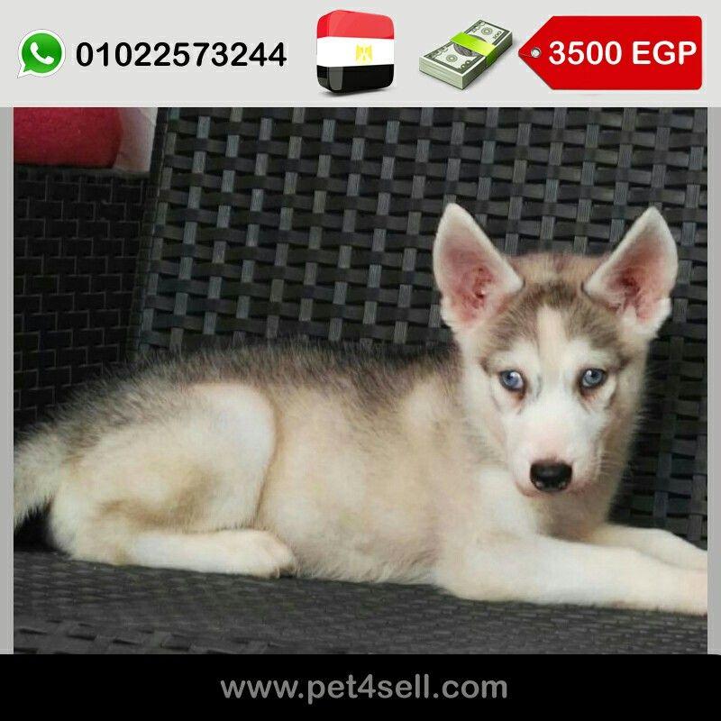 Egypt Cairo Siberian Husky Puppes Male Bi Eyed Eyes Female