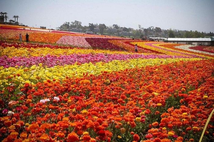 10. The Flower Fields at Carlsbad Ranch