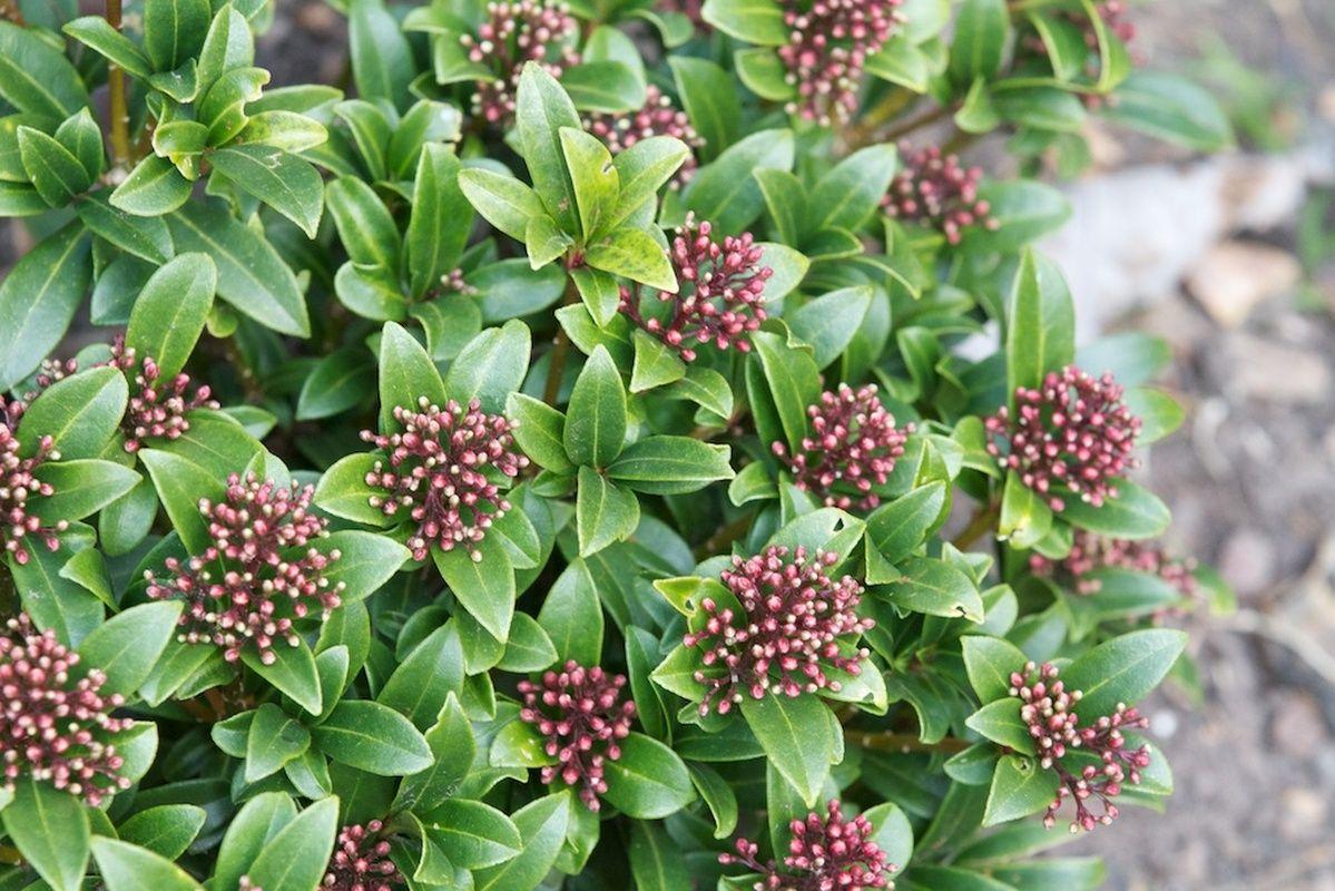 skimmia japonica rutaceae n jap n d rbab r k zsia hola. Black Bedroom Furniture Sets. Home Design Ideas