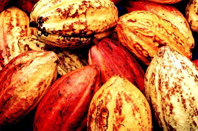 Growing Cocoa in Vanuatu: Make Way for Fair Trade! - Fleur Australe - Expédition maritime de Géraldine Danon et Philippe Poupon