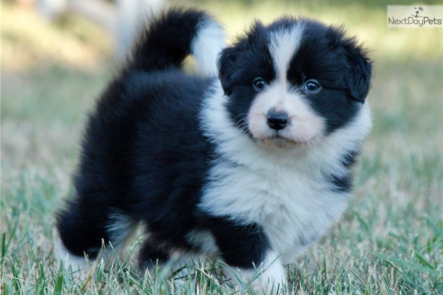 Be My Girl Border Collie Puppy For Sale Near Budapest Hungary 68dc07d5 B831 Collie Puppies Border Collies For Sale Collie Puppies For Sale