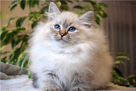 Romantic Melody's Neva Masquarade Sibirische Katze