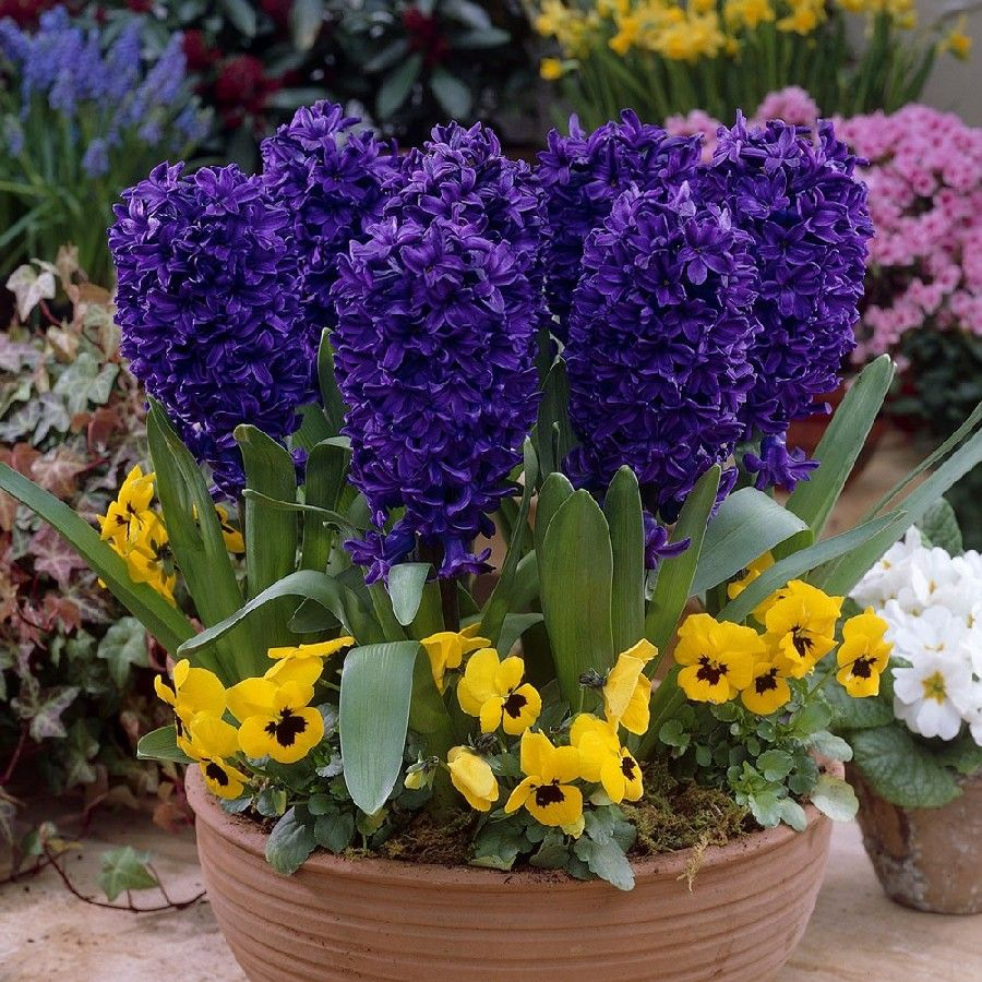 What A Beautiful Hyacinth The Peter Stuyvesant Hyacinth Is A Highly Fragrant Variety That Features A Deep Blue Hue Complim Bulb Flowers Planting Bulbs Flowers