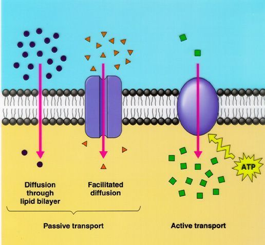 Cell Transport Hypotonic And Hypertonic Solutions Diffusion Osmosis
