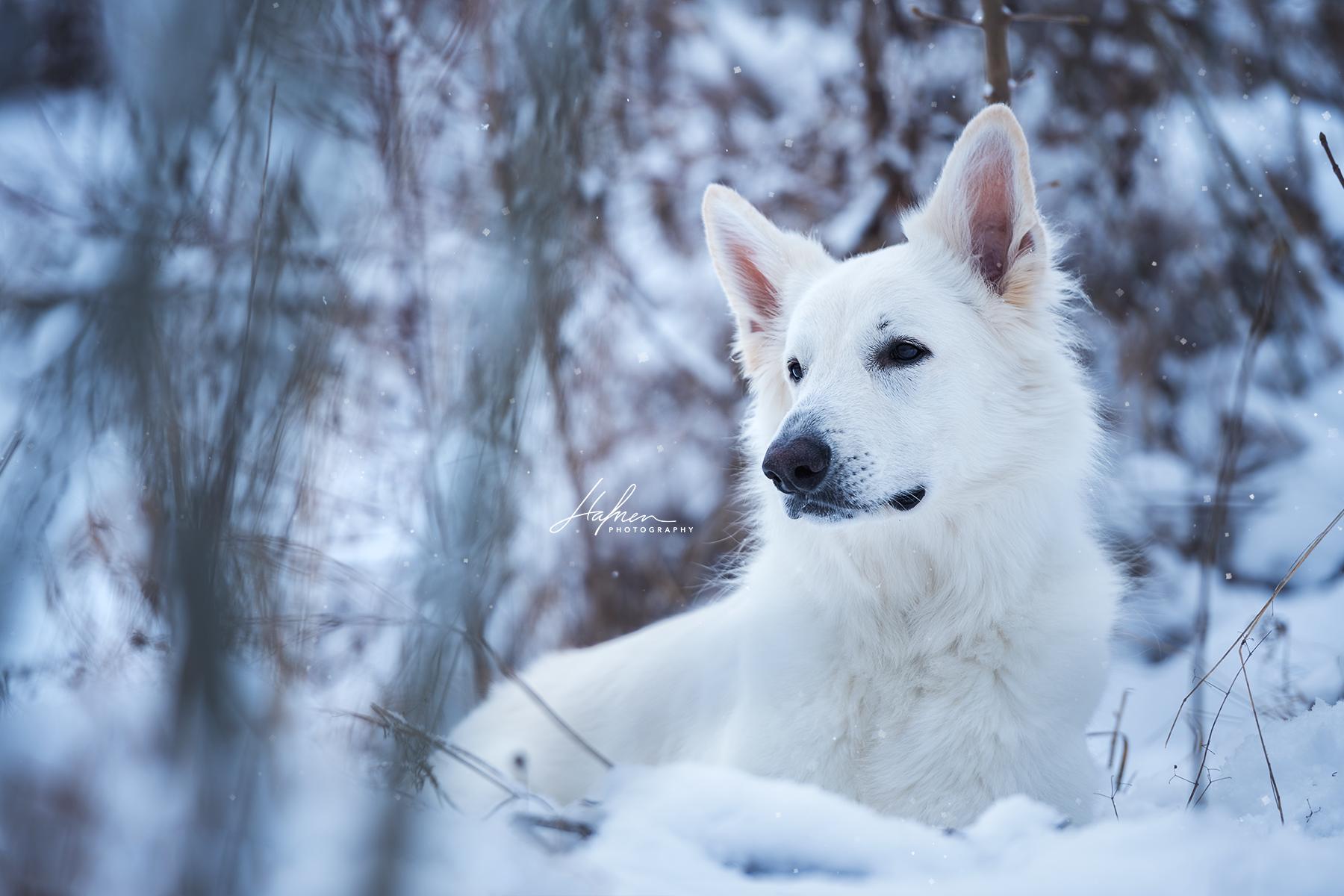 Schweizer Weisser Schaferhund Mit Bildern Hunde Weisser Schaferhund Schaferhunde