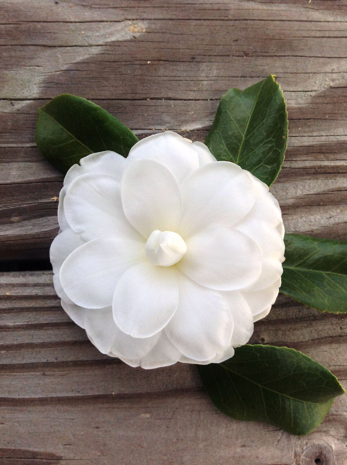 Camellia photograph, plant, picture, flower, wall art by