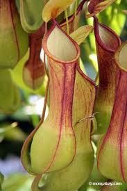 Plants Have Appetite For Insects There Are Certain Carnivorousplants Which Consume Insects And Are Also Ob Pitcher Plant Unusual Plants Carnivorous Plants