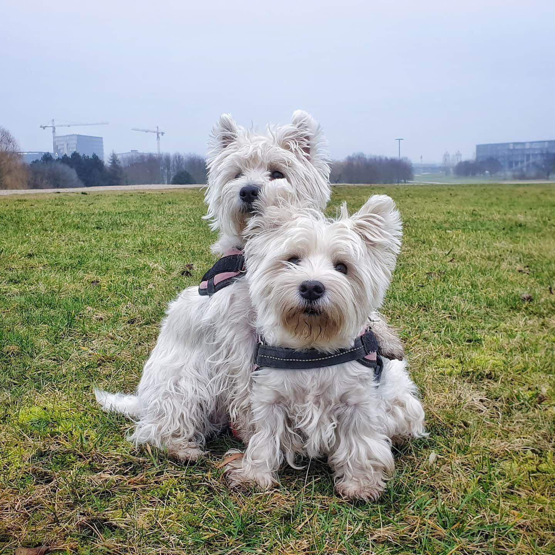 Que Quieres Westie Puppies Dog Face Westies
