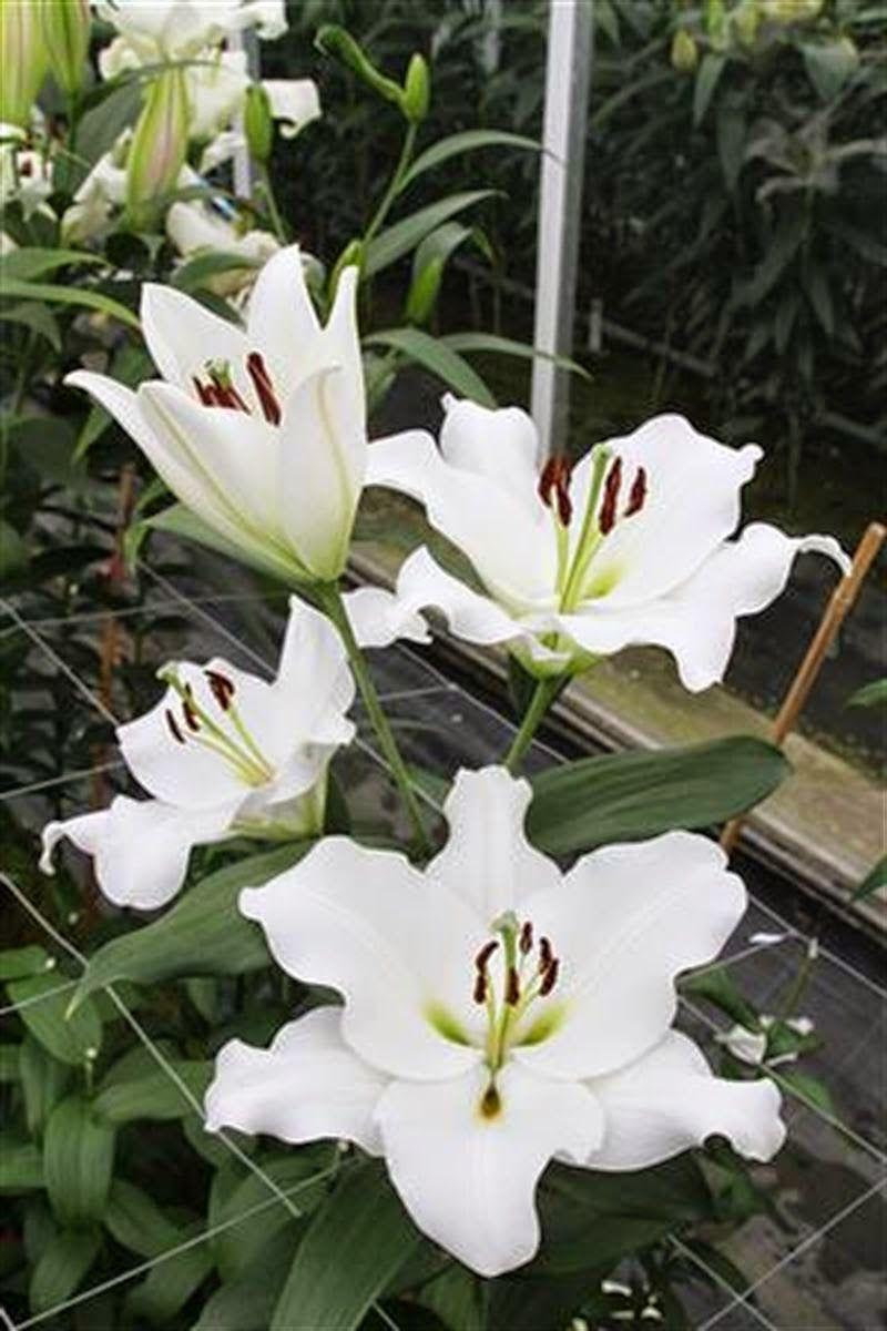 Petacas Ot 40 Lilies Pinterest Gladioli Iris And Flowers