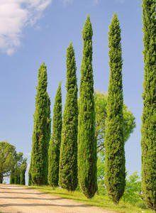 Cypr s de florence am nagements ext rieures outside organizations pinterest cypr s - Cypres de florence totem ...