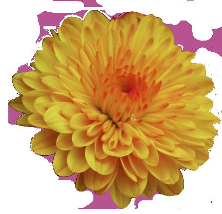 transparentflowers Garden Mum. Dendranthema