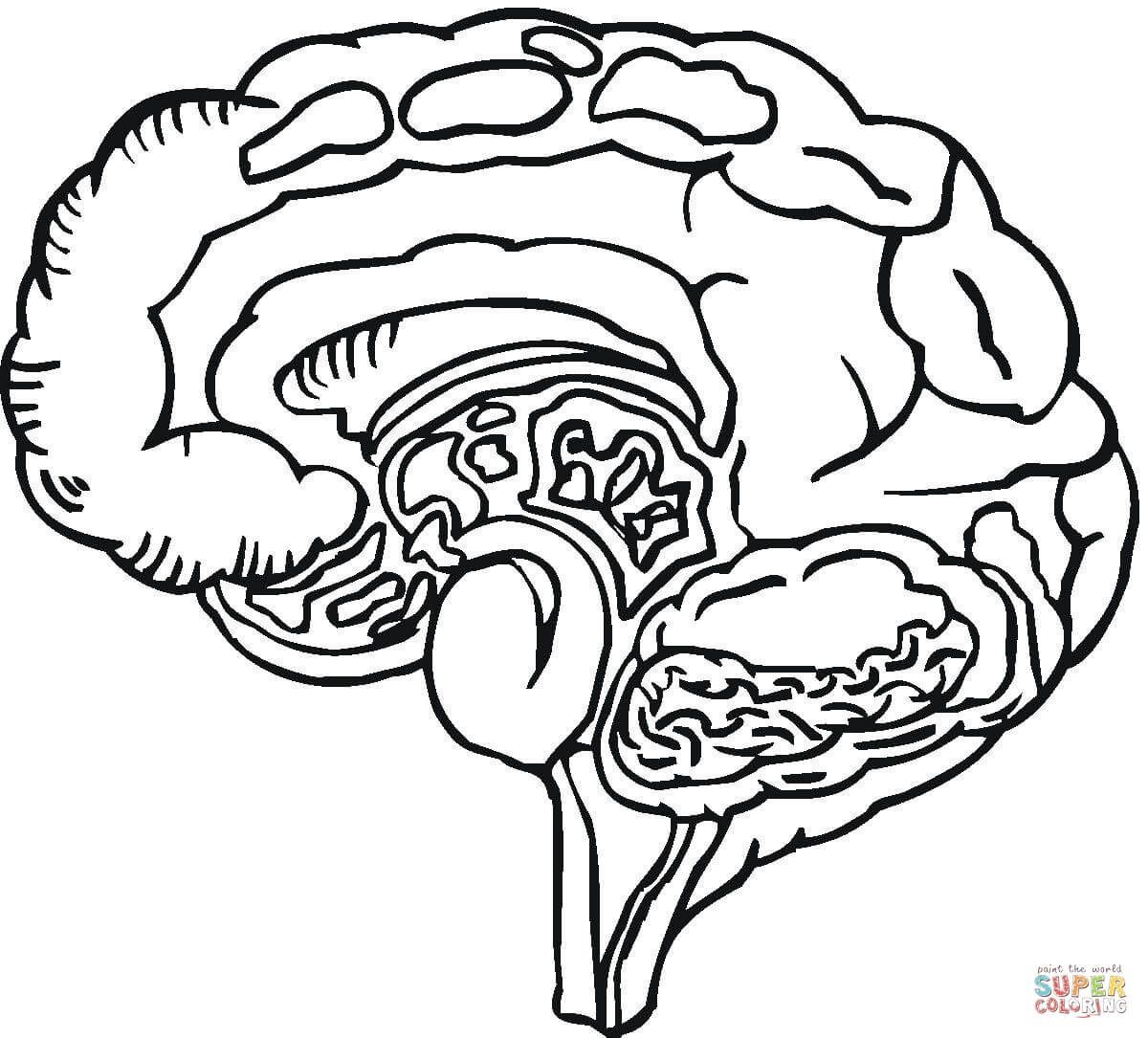 Human Brain Coloring Page Coloring Home Super Coloring Pages Animal Coloring Books Human Heart Drawing [ 1085 x 1200 Pixel ]