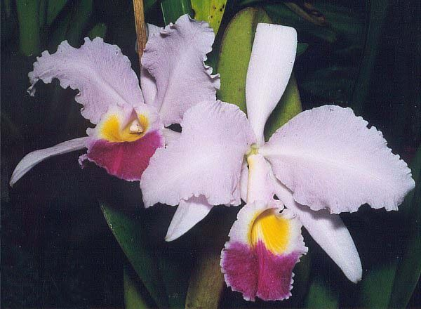 National Symbols Of Colombia Cattleya Flowers Orchids