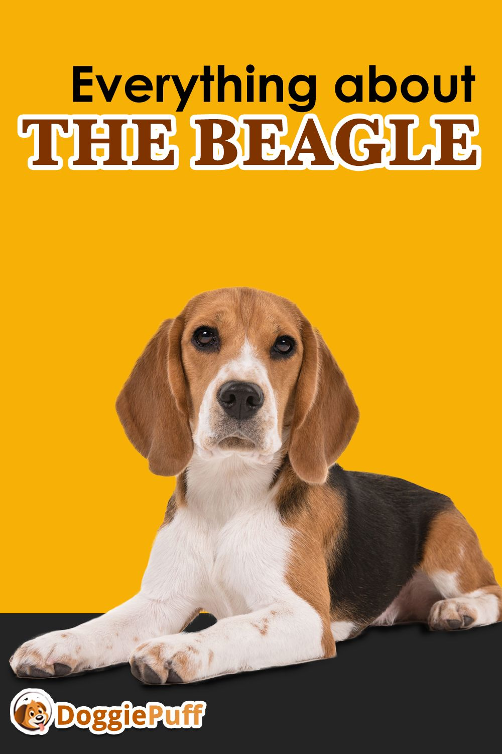 Everything About The Beagle Must To Know Facts Www Doggiepuff