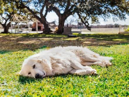 By Now Everyone S Wiped Out That Bear Pictured He Half Anatolian Shepherd Great Pyrenees