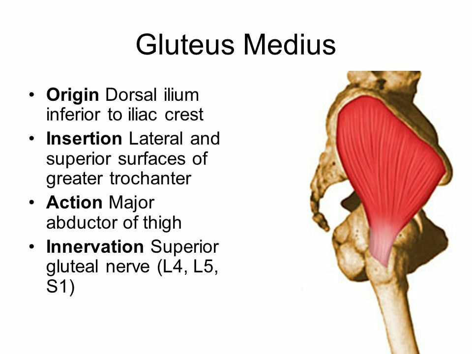 Gluteus medius - abductor of hip... | Muscles | Pinterest | Anatomy ...