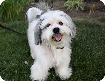 Shih Tzu/Westie, West Highland White Terrier Mix (Westie