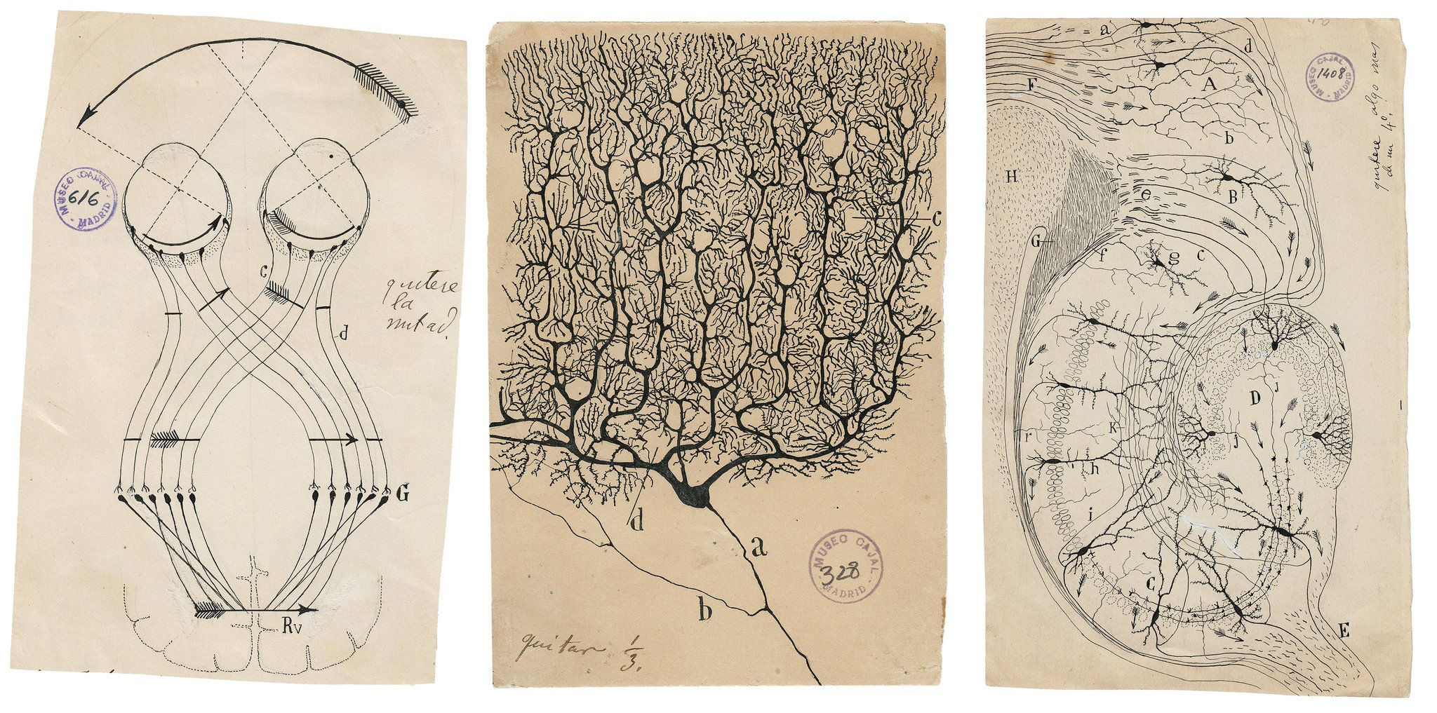 Hunched Over a Microscope, He Sketched the Secrets of How the Brain ...