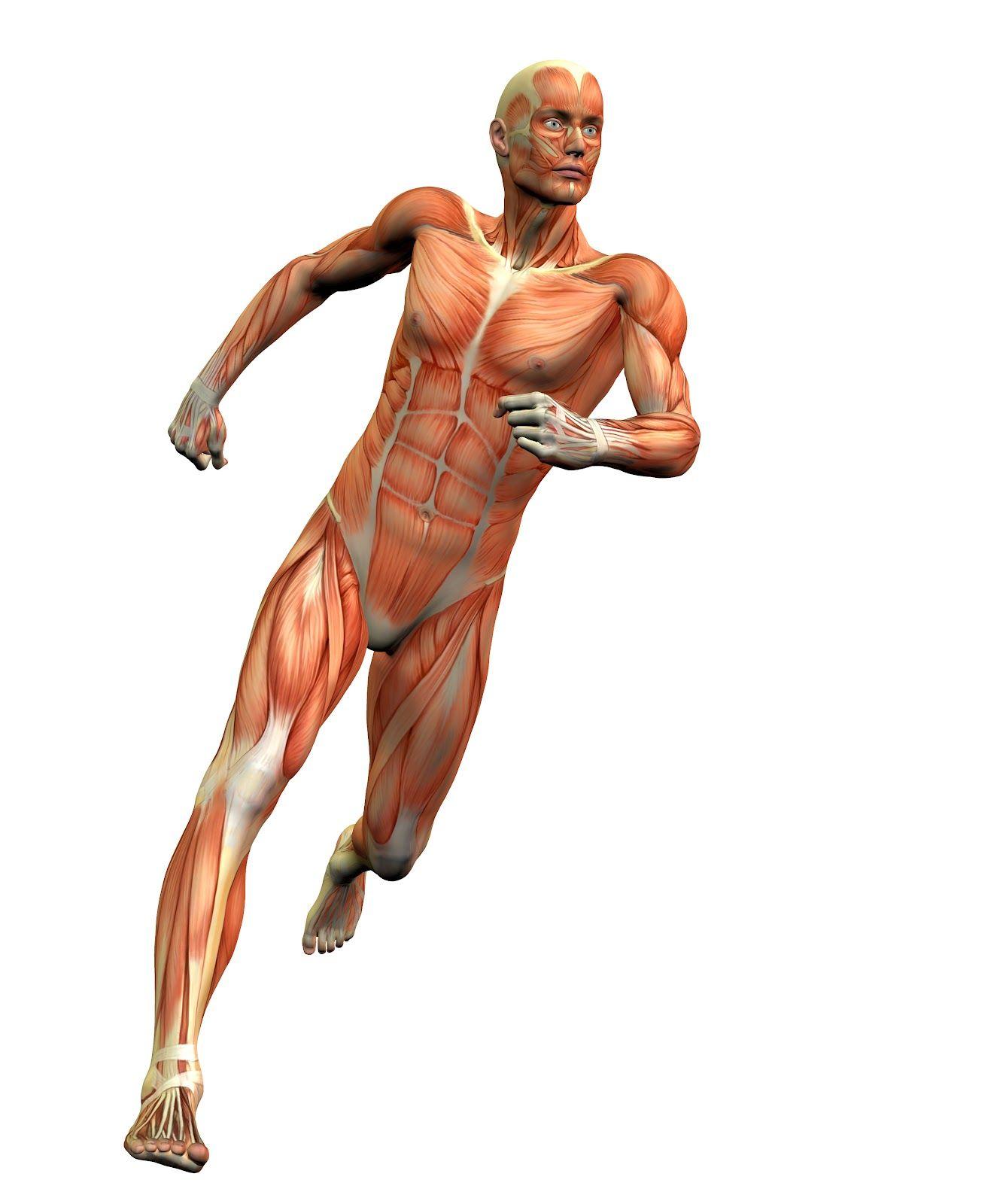 musculos de extremidades superiores e inferiores - Buscar con Google ...