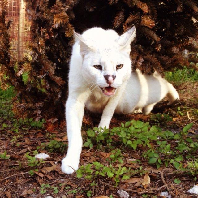 13++ White serval info