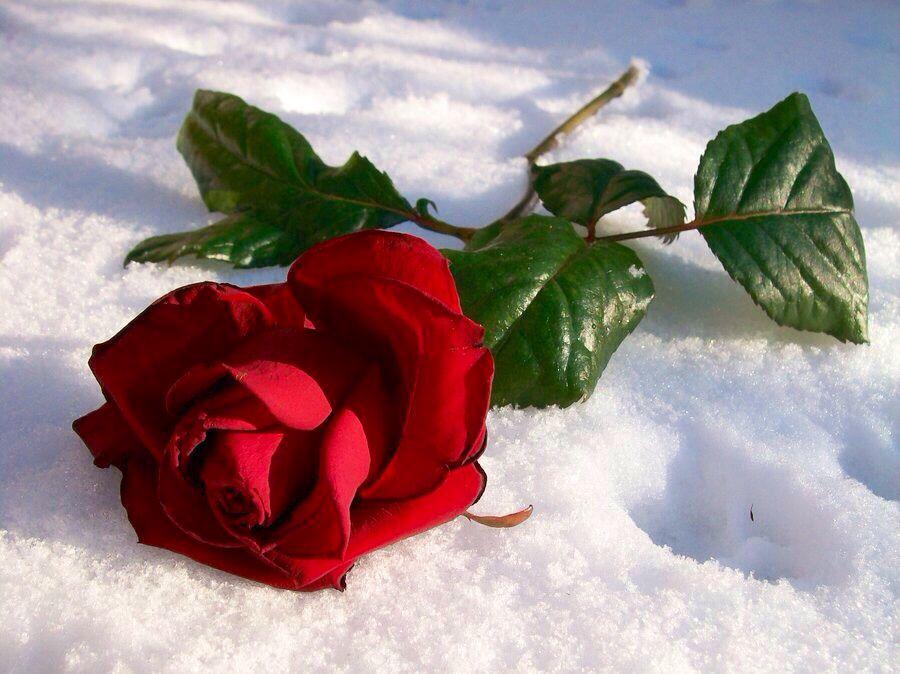 Картинка розы на снегу, смешные