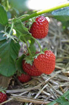 Planting strawberries in containers