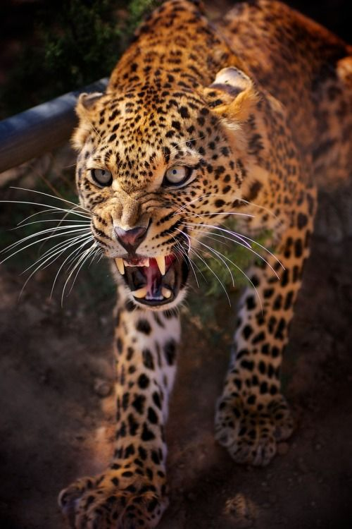 Angry Leopard by Mohamed Hakem