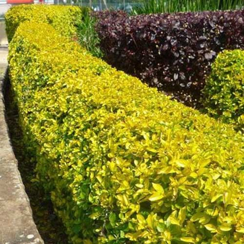 Mini Gold Plant : Duranta sheenas mini gold garden ideas pinterest