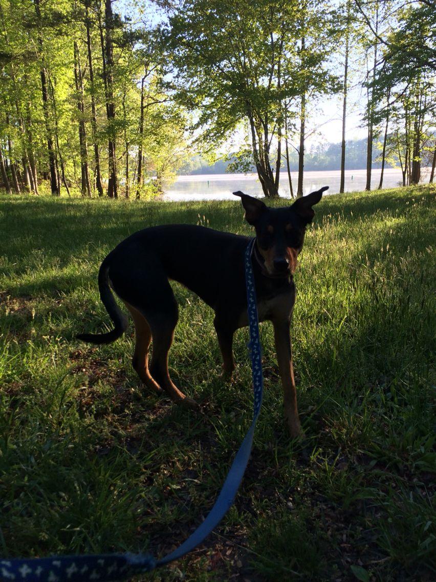 Cleo the german shepherd rott mia puppy visits gigis lake
