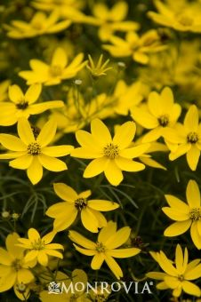 Zagreb Threadleaf Coreopsis Plants Tickseed Herbaceous Perennials