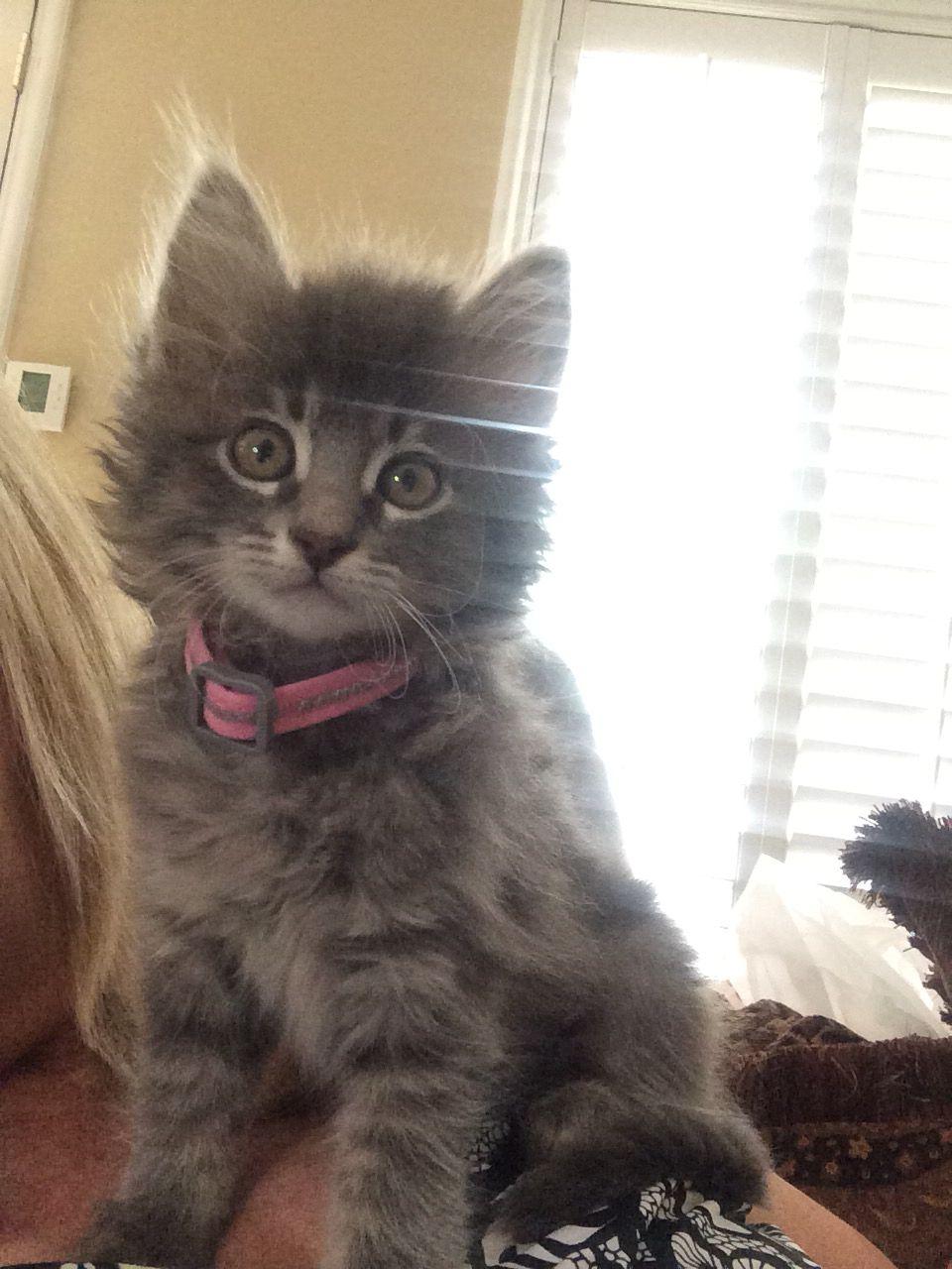 Ten Week Old Domestic Kitten Her Name Is Bleu Kitten Love Kitten Love Kitten Feline